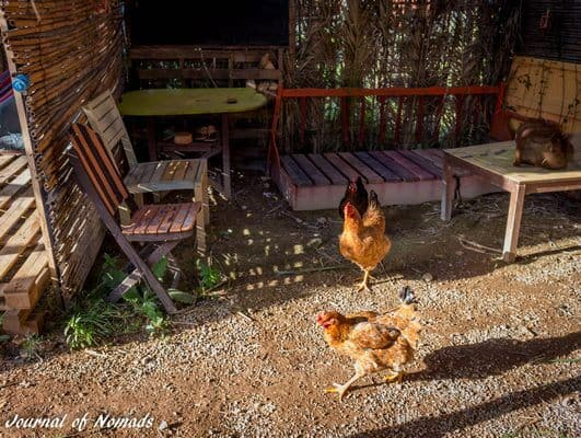 Watch out, chickens coming through!