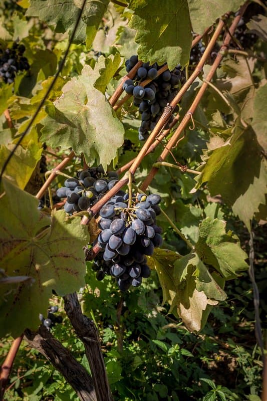 Georgia, mother of wine - grapes - Journal of Nomads