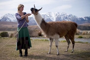 How to volunteer abroad for free - Journal of Nomads - llama - New Zealand