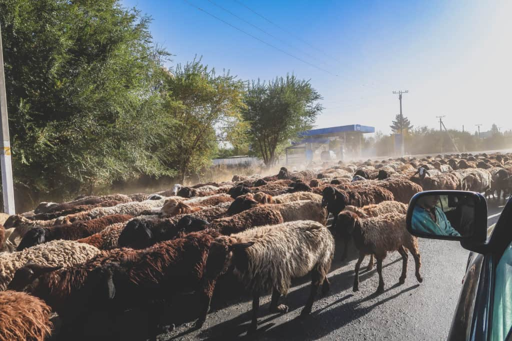 The Ultimate Travel guide for backpacking in Kyrgyzstan - Journal of Nomads - sheep on the road