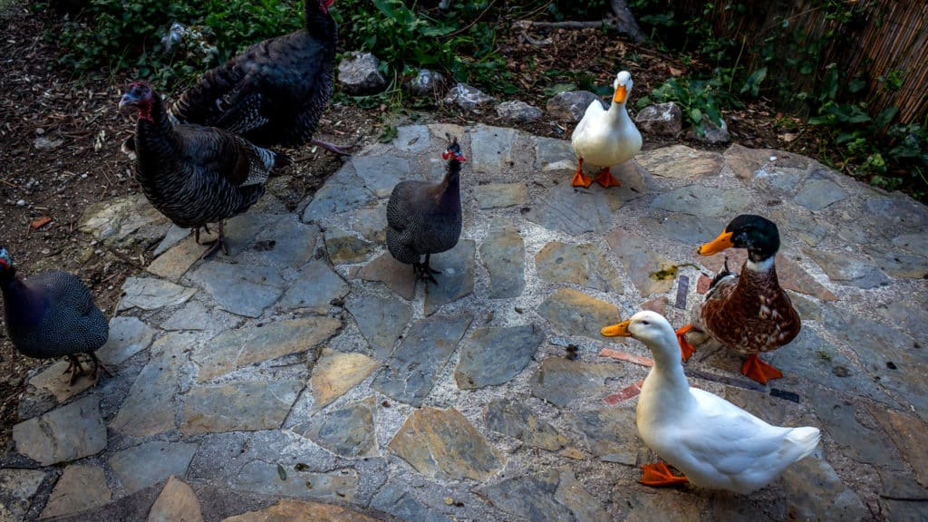 Housesitting in Turkey - Petsitting for ducks and feathery friends